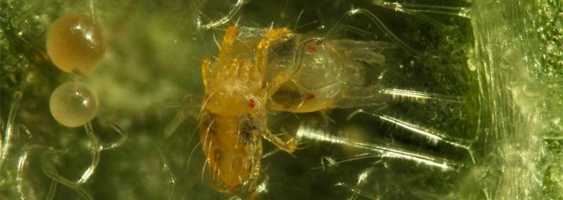 ¿Por qué el ácaro Arañita Roja Tetranychus urticae, es considerada mundialmente como una de las megaplagas más devastadoras de cultivos agrícolas?